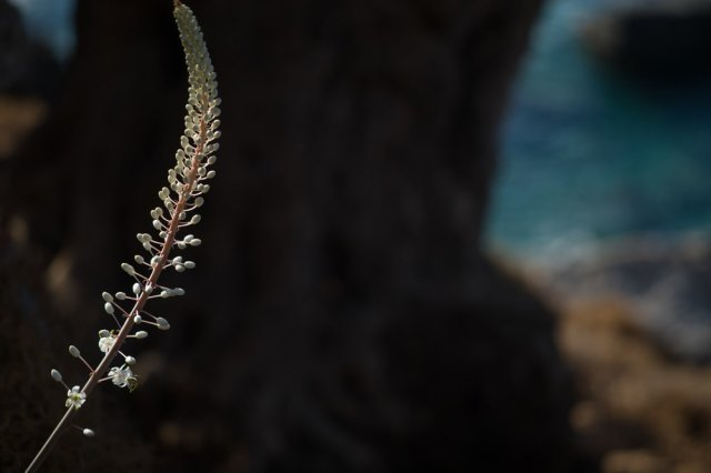 Sea Squill - Leica M10 with 90mm Macro Elmar M 1/500th ISO 100