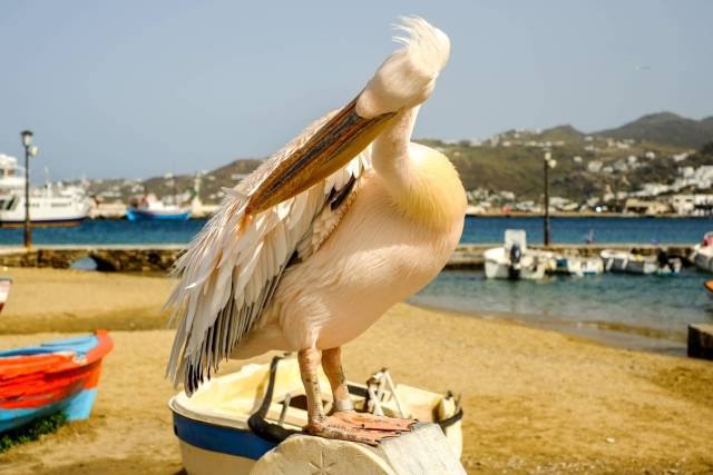 Now let's see, have I got a screen on my back or not? X-Pro 1 with 35mm Fujinon, snapped by Mike Evans back in 2012, shortly after the camera was announced. This was taken in Mykonos and features the one of the famous pelicans which roam the streets. Legend has it that Jacqueline Onassis, formerly Kennedy, presented the first pelicans to the island in the 1960s. They have been strutting around town ever since.