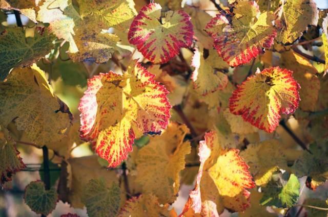 Autumn in the vineyards near Freiburg. Here at Malterdingen, Germany's best Pinot varieties are produced: Spätburgunder, Grauburgunder, and Weißburgunder. Konica Hexar RF with Konica M-Hexanon 50/2. Kodak Ektar 100.