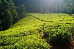 Eine der zahlreichen Tee Plantagen