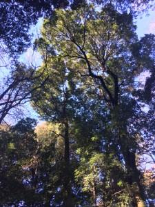 神宮の森1