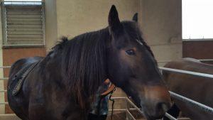 Le cheval de trait poitevin