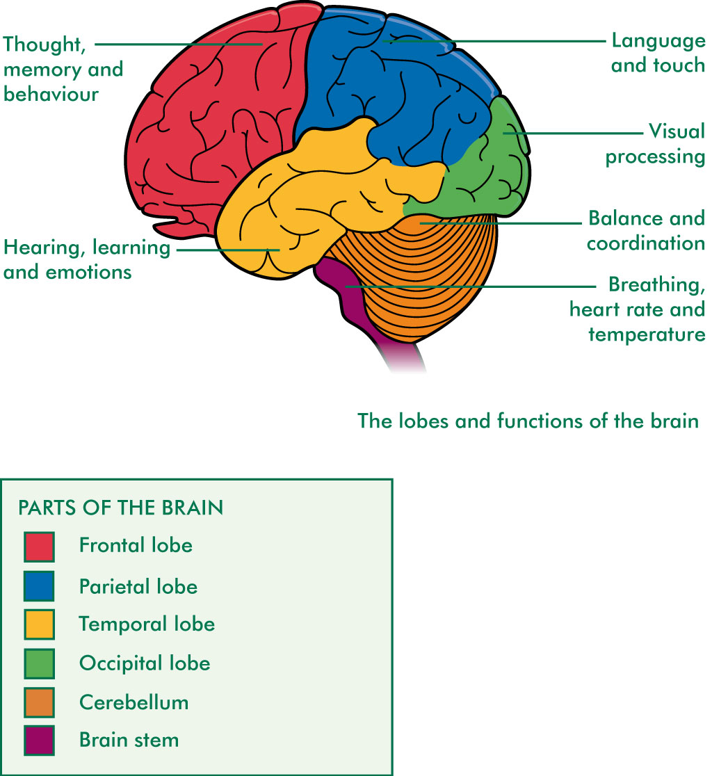 Diagram Of The Brain And Their Functions Security Sistems