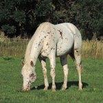 etalon poa en auvergne élevage de poneys des amériques en france