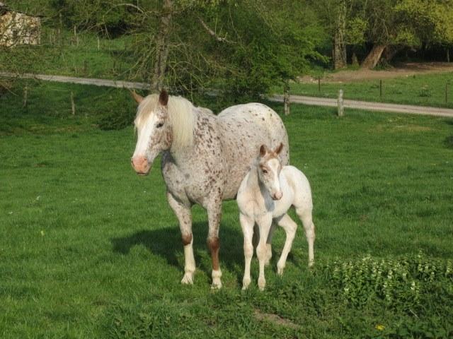 élevage de chevaux équitation western en auvergne rhone alpes