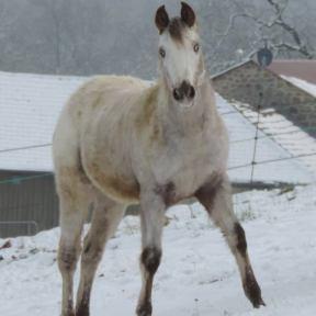 poneys des amériques à vendre au puy en velay