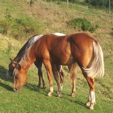 poualin poneys des amériques à vendre en haute loire
