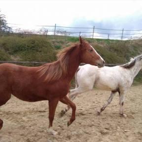 chevaux pour équitation western à vendre en auvergne