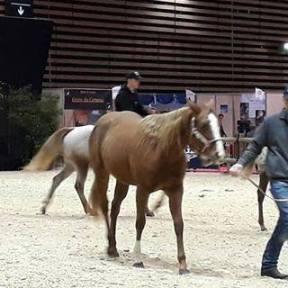 chevaux pour équitation western à vendre