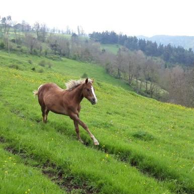poualin poneys des amériques à vendre