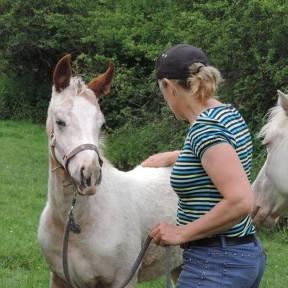 poneys des amériques à vendre