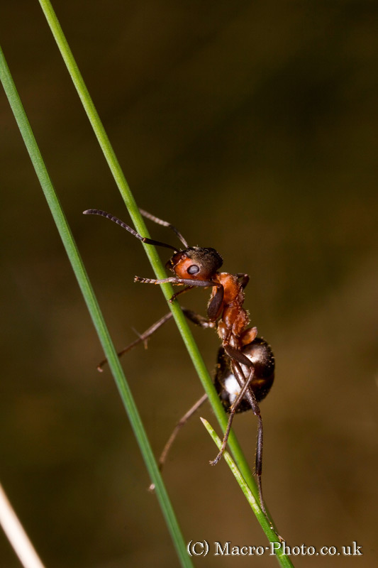 Wood Ant on Grass