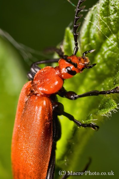 Cardinal Beetle on leaf close up