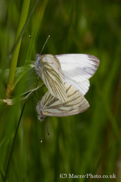 Mating Small White Butterflies