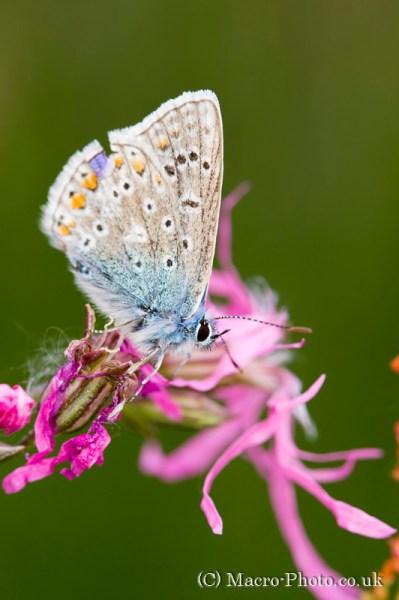 Common Blue on flower