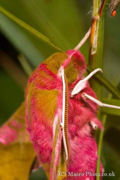 Small Elephant Hawk Moth - Deilephila porcellus and intruders.