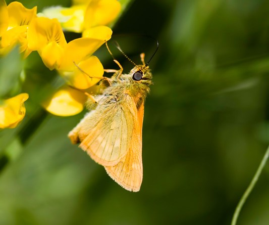 Large Skipper - Ochlodes faunus - taken at Kilwood