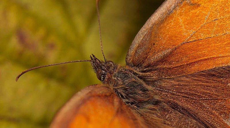 Gatekeeper - Pyronia tithonus - Closeup