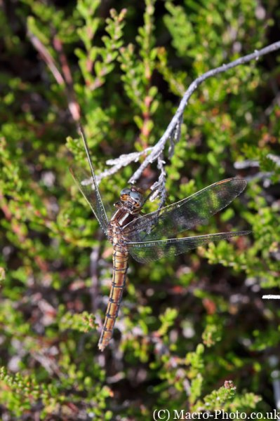 Orthetrum coerulescens - Keeled Skimmer - Female