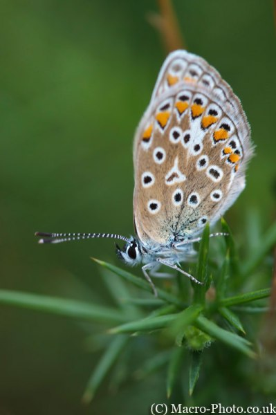 Probably a Common Blue