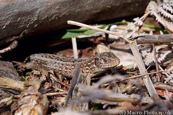 Common Lizard - Lacerta vivipara
