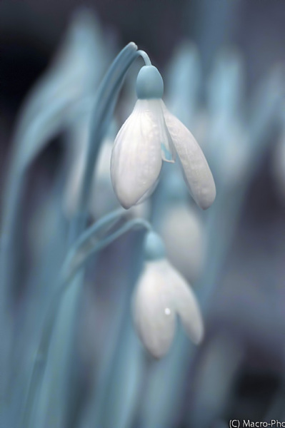 Infrared Snowdrops - Galanthus