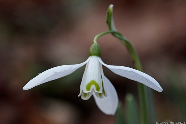 Snowdrop - Galanthus, Fully Open