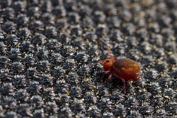 Globular Springtail at about 4 times magnification