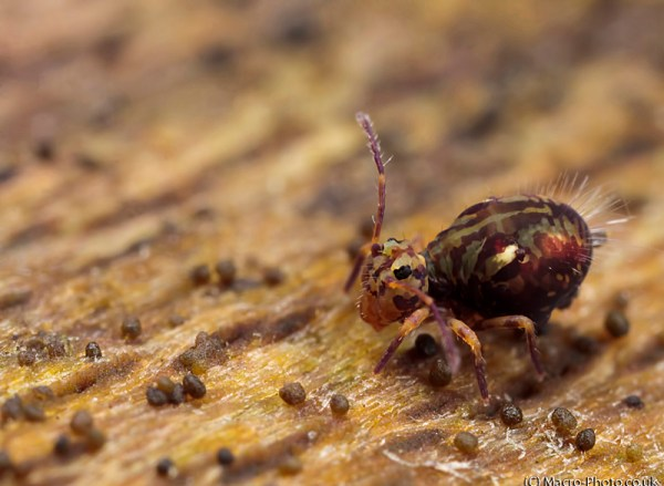 Globular Springtail on Log