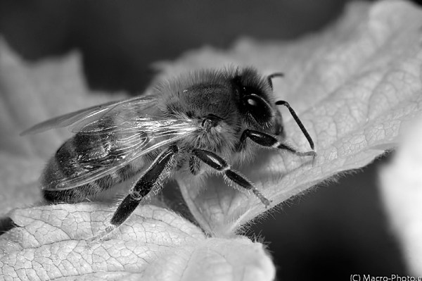 Bee Infrared - Black & White conversion in photoshop.