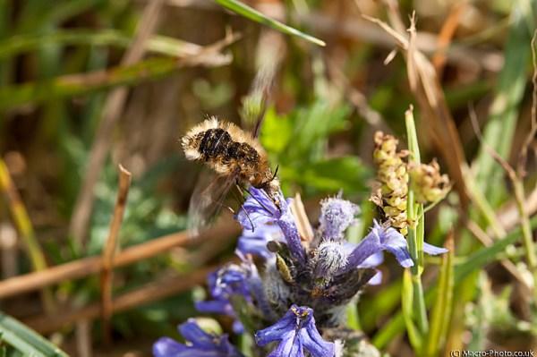 Beefly (Bombyliidae) on Bugle