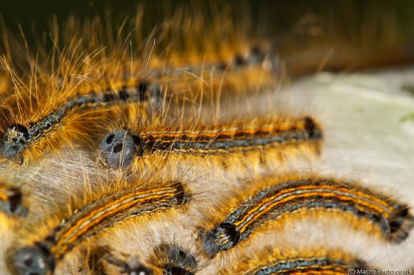 Caterpillars of Lacky Moth - Malacosoma neustria