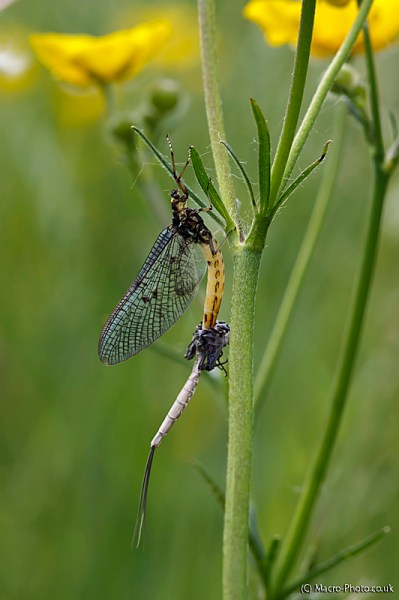 Emerging Mayfly - Ephemeroptera
