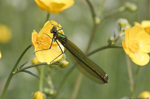 Banded Demoiselle (Female)