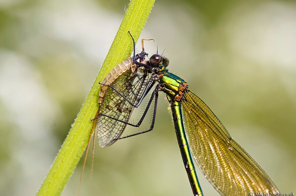 Banded Demoiselle eating a Mayfly