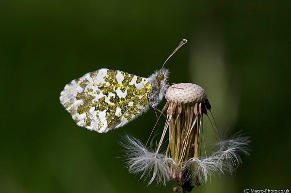 Female Orange Tip - Anthocharis cardamines - on dandelion.