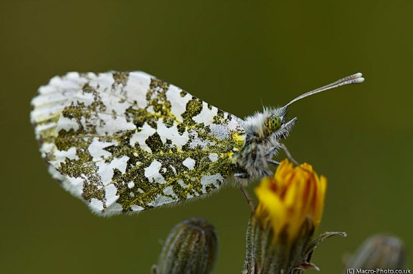 Female Orange Tip - Anthocharis cardamines.