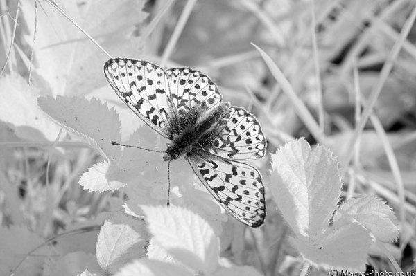 Pearl Bordered Fritillary in Infrared