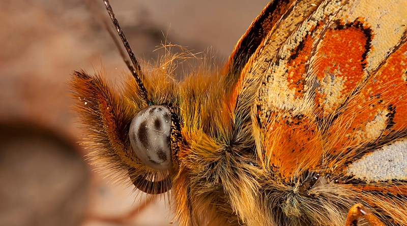 Stack of Pearl-bordered Fritillary - Boloria euphrosyne
