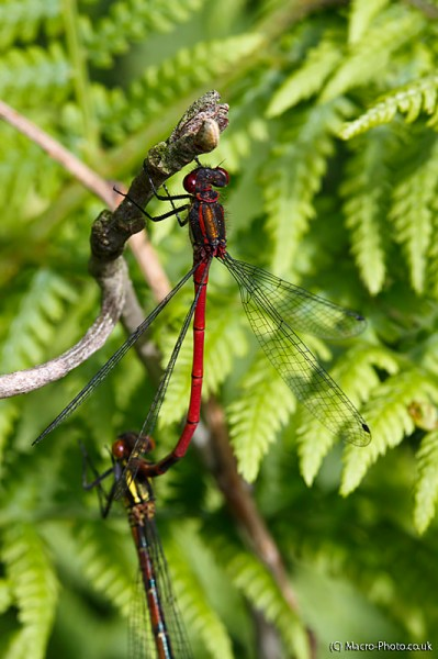 Large Red Damselflies Mating