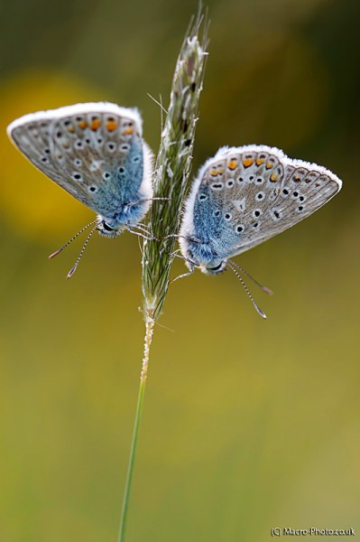 Pair of male blues