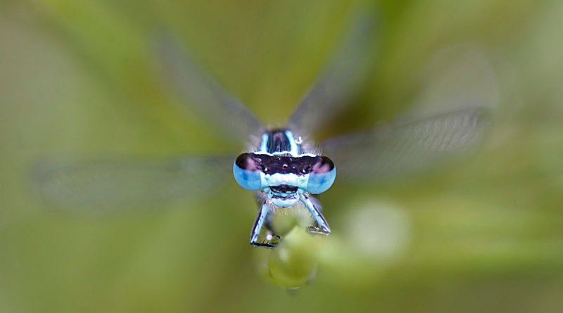Damselfly head on.