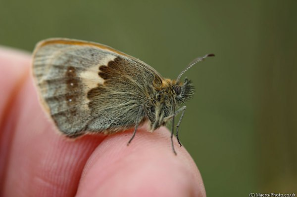 Small Heath on my finger