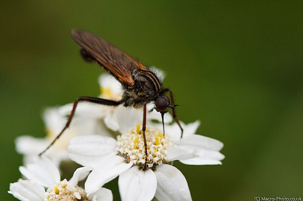 Dance Fly - Empis tessellata on flower