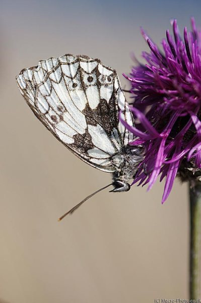 Female Marbled White - Melanargia galathea - up close.