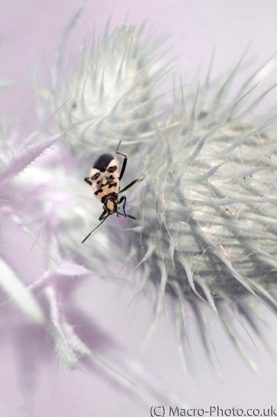 Infrared Plant bug on thistle