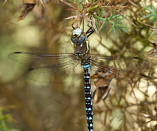Migrant Hawker (Aeshna mixta) on gorse