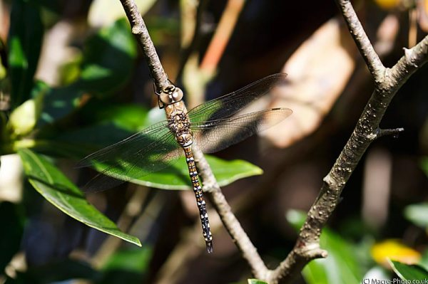 Migrant Hawker (Aeshna mixta).
