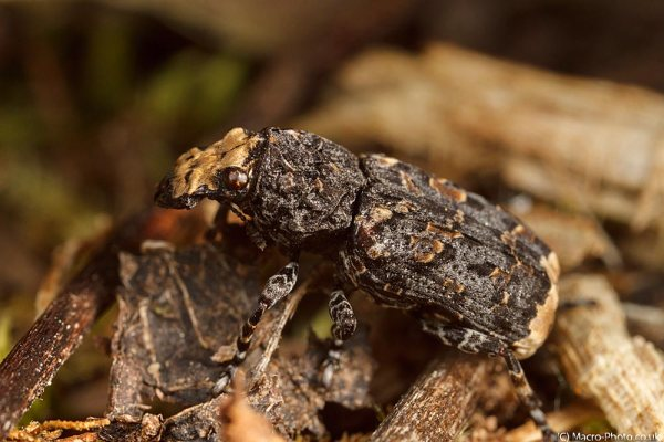Beetle on log (lifesize)