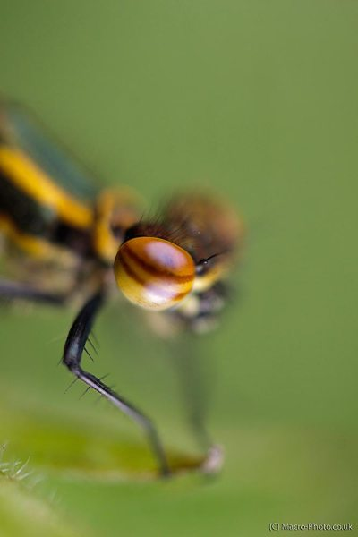 Large Red Damselfly Eyeball (about 2x Mag).